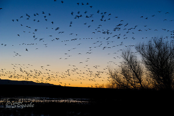 Dawn, Snow Geese arriving.